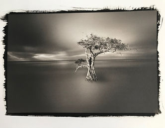 A long exposure shot of a cypress tree printed in platinum palladium process