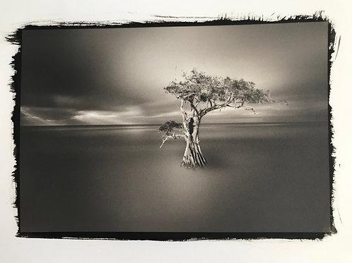 Cypress in Platinum Pd print