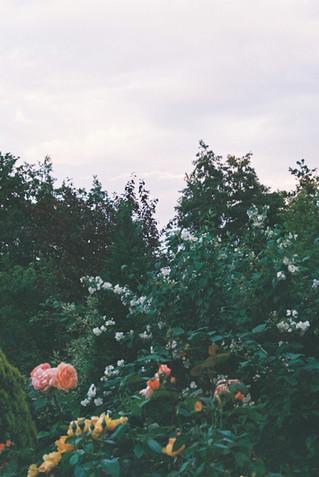 rozen.JPG