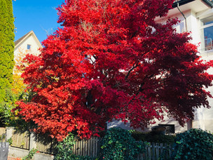 Roter Ahornbaum