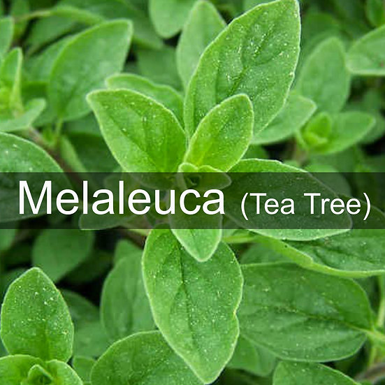 Melaleuca (Tea Tree) Essential Oil 10ml Roller