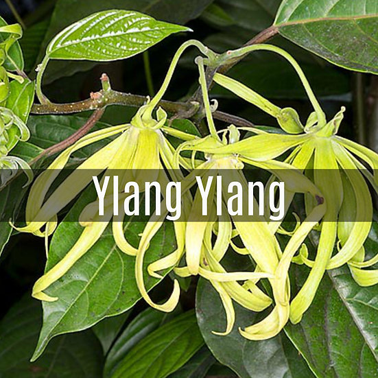 Ylang Ylang Essential Oil 10ml Roller