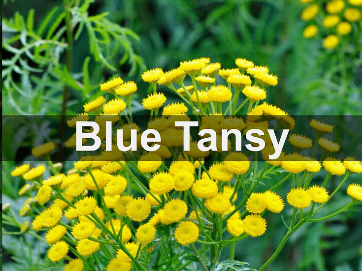 Blue Tansy Essential Oil 10ml Roller