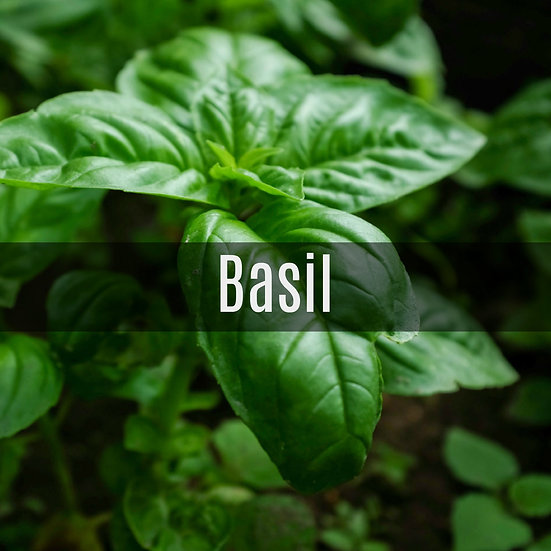 Basil Essential Oil 10ml Roller