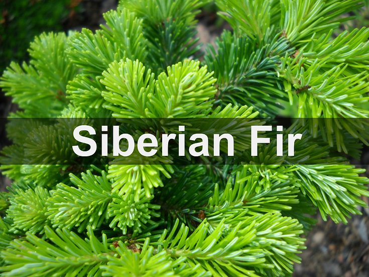 Siberian Fir Essential Oil 10ml Roller
