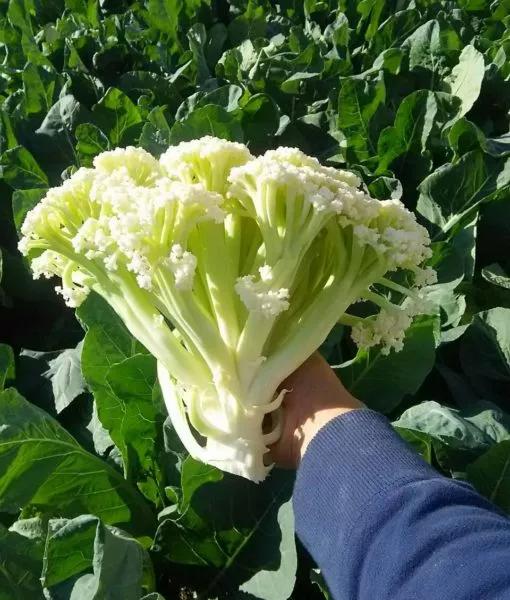 taiwan cauliflower