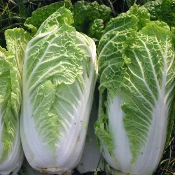 cabbage_wong-bok