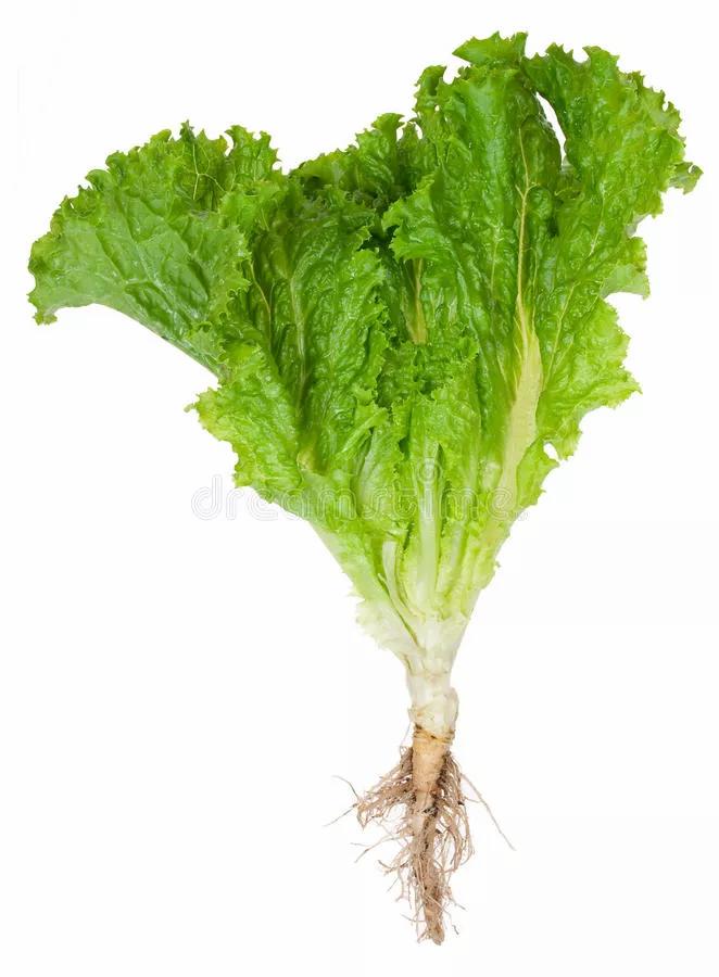local lettuce
