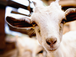 Josephati Shauri: Father, goat farmer, entrepreneur