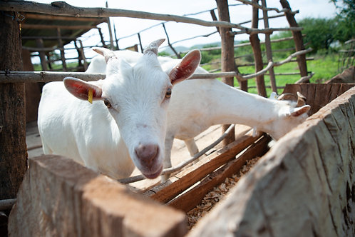 Adopt a goat