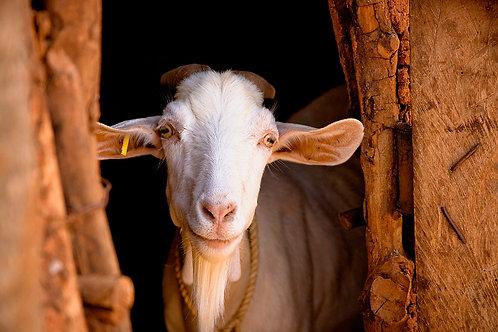 Pass it on Goat