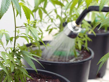 How Often Do I Water Marijuana Plants?