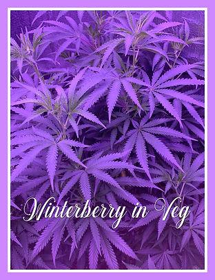 WINTERBERRY IN VEG.jpg