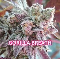 GORILLA BREATH.jpg