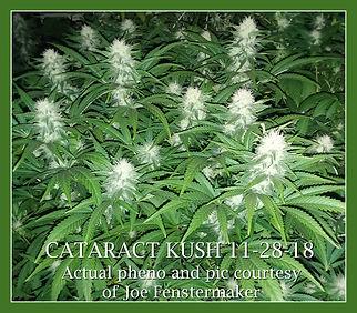 CATARACT KUSH.jpg