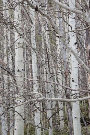 Birch Stand -2