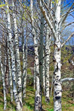 Birch Stand - 3