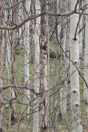 Birch Stand -1