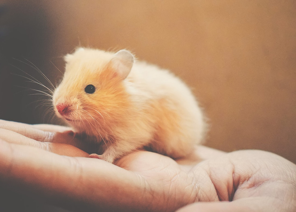 light brown hamster being held in someone's hand