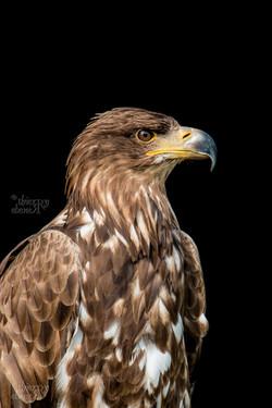 Les Aigles du Léman