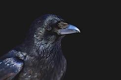 raven-3287119_640.jpg