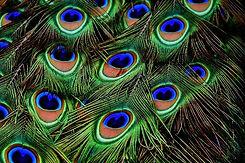 peacock-feathers-3013486_640.jpg