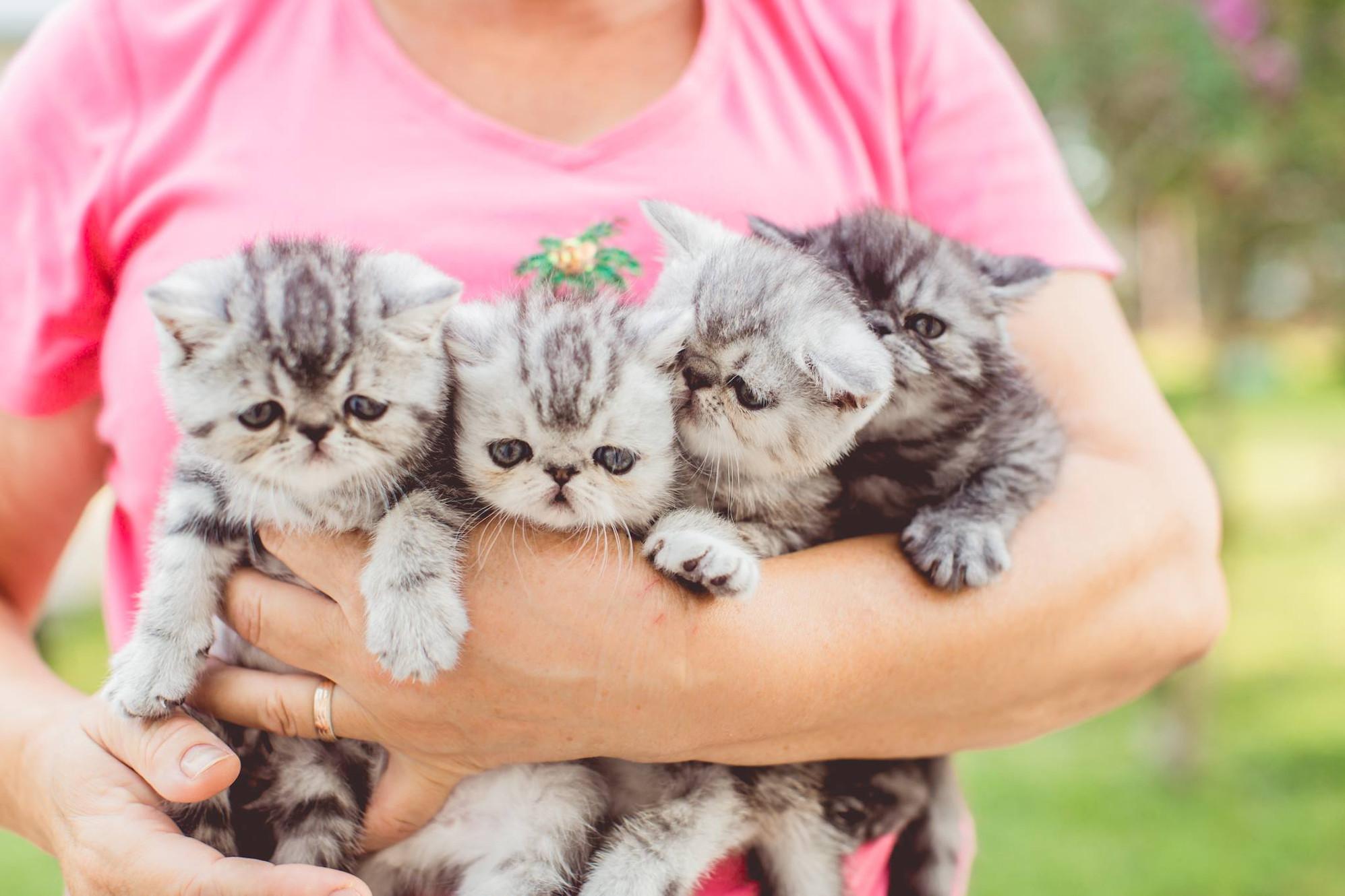 For Sale Persian Exotic Shorthair Kittens | Southwest Florida