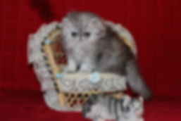 Exotic Shorthair, Exotics, Exotic Shorthair Persians, Exotic Kittens, Exotic Shorthair Kittens,  Shorthair Kittens, Shorthair Persians, Exotic Shorthair Kitten, Exotic Kitten For Sale, Exotic Shorthair Kitten For Sale, Kitten For Sale, Kittens,