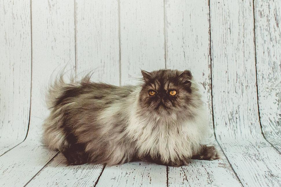 Persian cat adoption miami