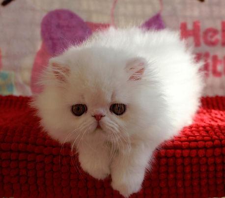 Exotic Shorthair, Exotics, Exotic Shorthair Persians, Exotic Kittens, Exotic Shorthair Kittens,  Shorthair Kittens, Shorthair Persians, Exotic Shorthair Kitten, Exotic Kitten For Sale, Exotic Shorthair Kitten For Sale, Kitten For Sale, Kittens,