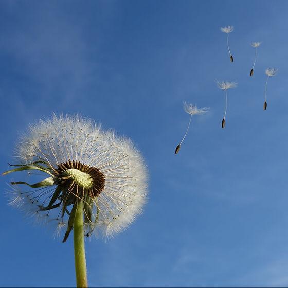 cropped-dandelion-sky-flower-nature-3966