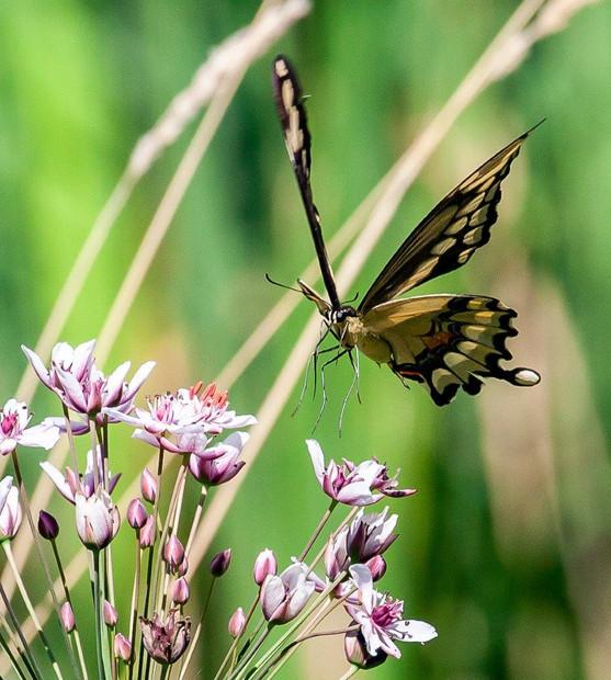 Alison Germain Swallowtail Landing 09 19