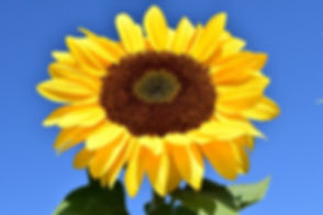 sun-flower-1627179_640.jpg