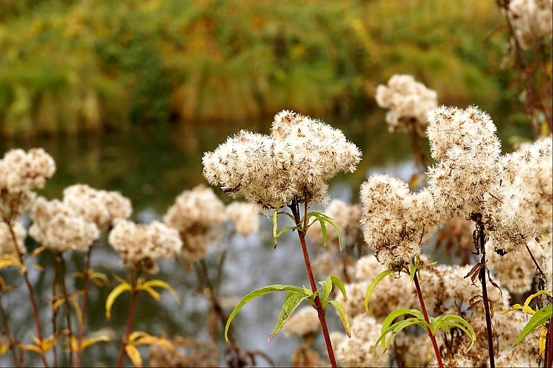 fleurs des berges de la Scarpe