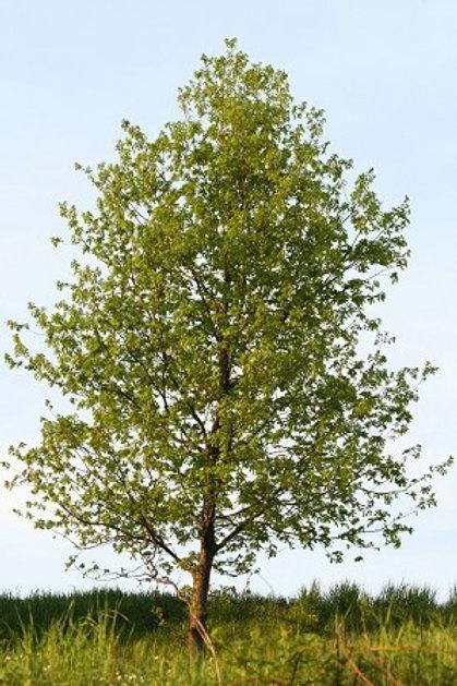 Poplar, Hybrid
