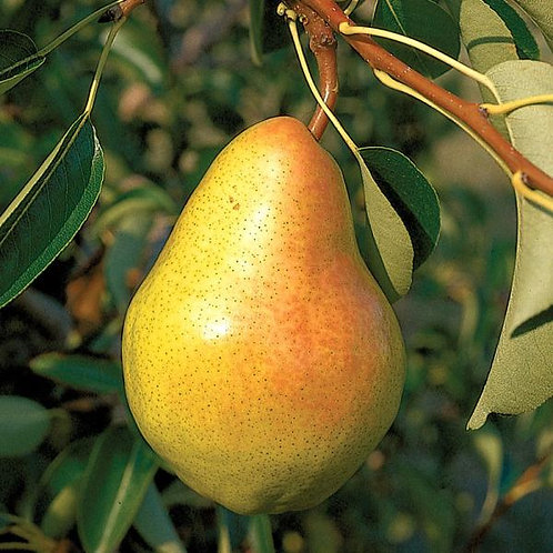 Pear, Bartlett *