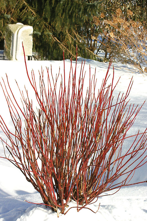 Dogwood, Red Osier (bundles of 5)
