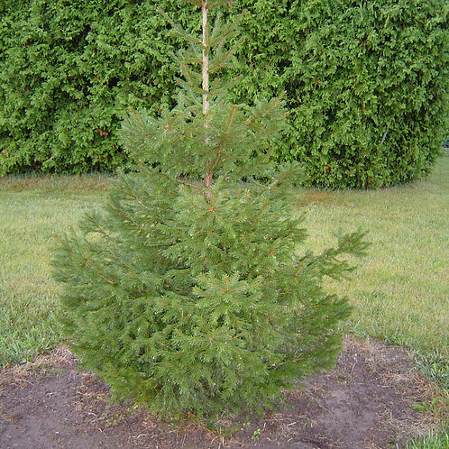 Spruce, Norway - Transplant