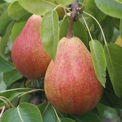 Pear, Clapp's Favorite *