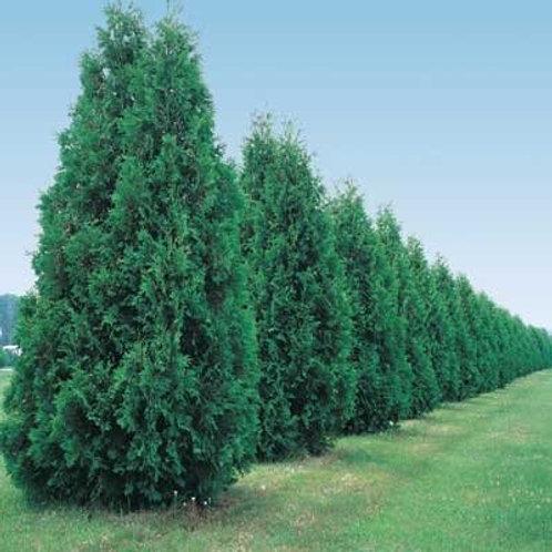 Arborvitae, Green Giant - Transplant