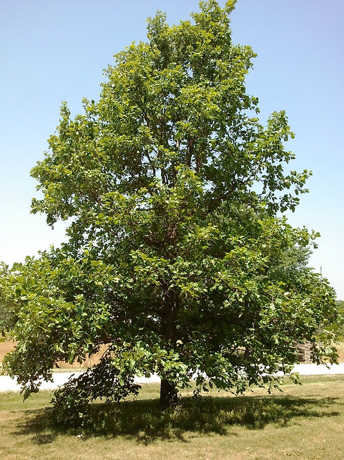 Oak, Swamp White
