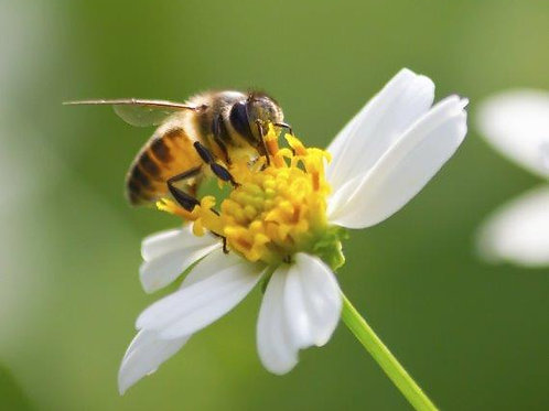 Pollinator for Honey Bees