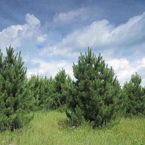 Pine, Red - Transplant