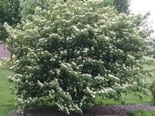 Dogwood, Silky (bundles of 5)