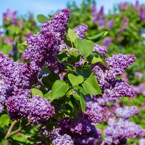 Lilac Bush (bundles of 5)