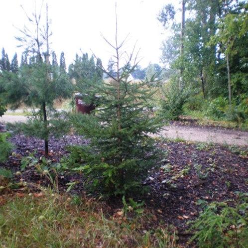 Spruce, White - Transplant