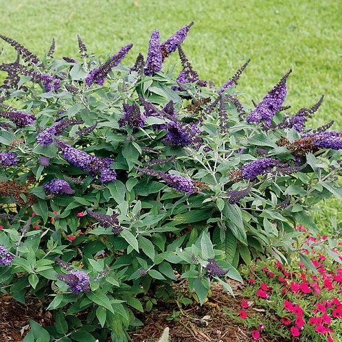 Butterfly Bush (bundles of 5)