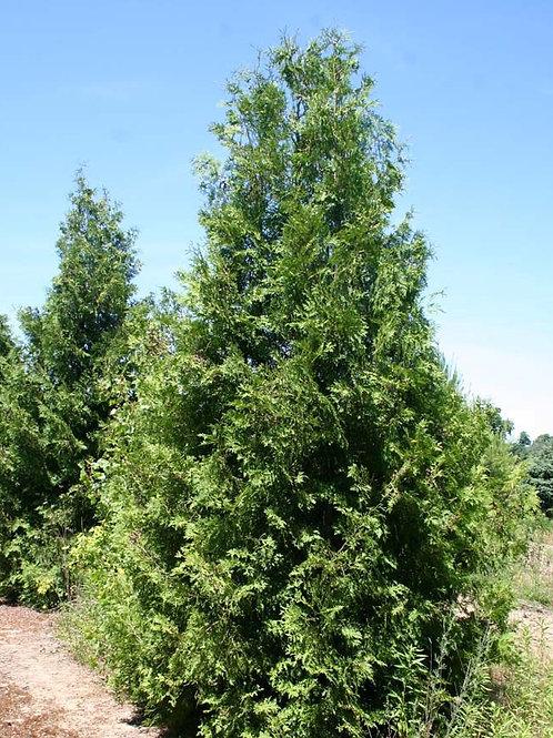 Cedar, White (bundles of 25) - Seedling
