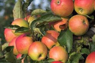 Apple, Gale Gala *