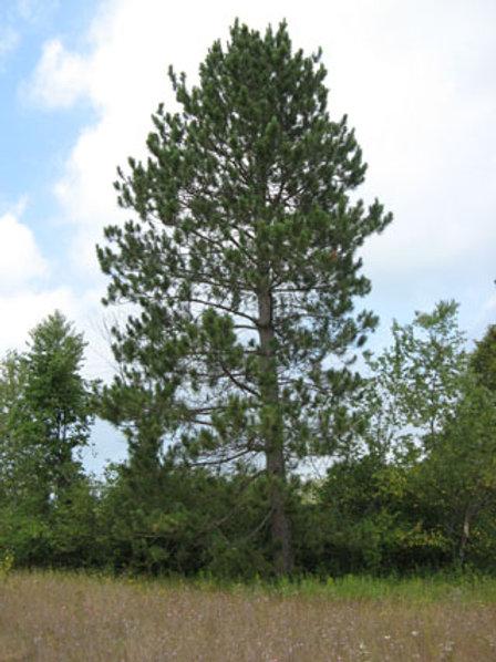 Pine, Red (bundles of 25) - Seedling